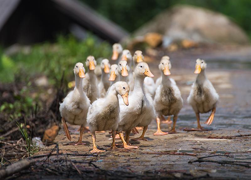 Sprzedaż kaczek